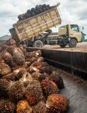 Olej Palmowy owoc zdjęcia royalty free