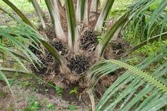Olej palmowy owoc Fotografia Royalty Free