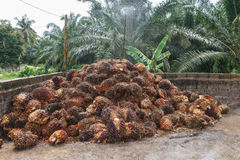 Olej Palmowy owoc na podłoga Zdjęcie Stock
