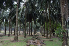 Oleju palmowego drzewa plantacja Obraz Royalty Free