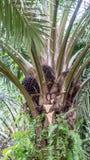 Oleju Palmowego drzewo Zdjęcie Stock