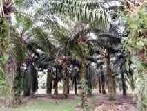 Oleju Palmowego drzewo Obraz Stock