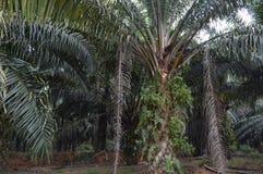 Oleju Palmowego drzewo Fotografia Royalty Free
