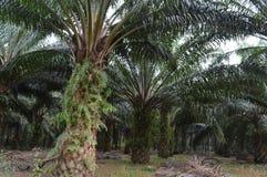 Oleju Palmowego drzewo Zdjęcie Royalty Free