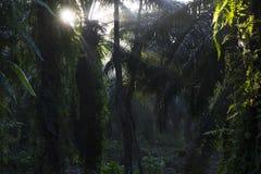 Oleju palmowego drzewo brać podczas wschodu słońca Zdjęcie Royalty Free