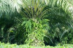 Oleju palmowego drzewo przy Cikidang oleju palmowego plantacją Obraz Royalty Free
