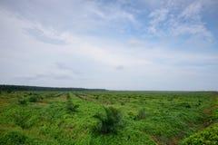 Oleju palmowego gospodarstwo rolne Fotografia Royalty Free