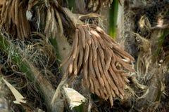 Oleju palmowego kwiat na drzewie Zdjęcie Royalty Free
