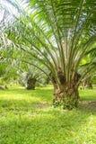Oleju palmowy drzewo Zdjęcia Stock