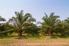 Oleju palmowy gospodarstwo rolne Zdjęcie Stock