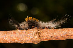 Olene mendosa caterpillar Stock Photography