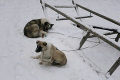 Olenegonka Nenets Laika Photos stock