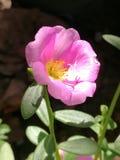 Oleracea de Portulaca Fotos de archivo libres de regalías