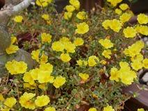 Oleracea de Portulaca imagem de stock royalty free