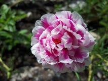 Oleracea de Portulaca da flor Fotografia de Stock Royalty Free