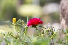 Oleracea de Portulaca de la flor Foto de archivo