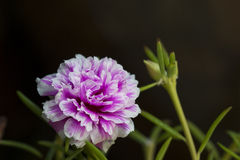 Oleracea Portulaca Στοκ Εικόνα