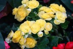 Oleracea Portulaca Стоковое Изображение