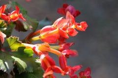 Oleracea Portulaca Стоковая Фотография RF