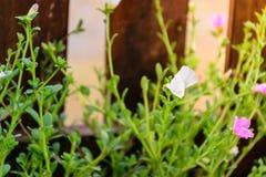 Oleracea van bloemportulaca stock fotografie