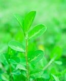 Oleracea van Portulaca Royalty-vrije Stock Foto