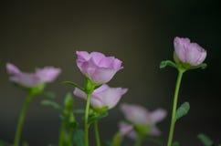 Oleraceae roses de Portulaca Image libre de droits