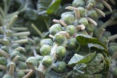 Oleraceaen för Brassica för Bryssel groddar på stjälk på bönder marknadsför Arkivbilder
