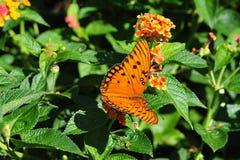 oleta motylia pomarańcze Zdjęcia Royalty Free