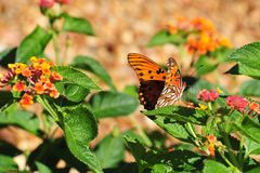 Oleta Orange Butterfly Royalty Free Stock Images