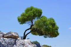 Oleve drzewo fotografia royalty free