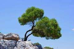 Oleve träd Royaltyfri Fotografi