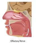 Olfactory nerv stock illustrationer