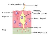 Olfactory nerve cell detail vector illustration
