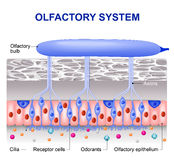 Olfactory system Stock Photo