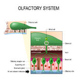 Olfactory system. Sense of smell. Human anatomy. Olfactory system inside the human head. Sense of smell. the olfactory bulb at the top which connects to scent Stock Photo