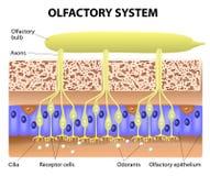 Olfaktorisches System Stockbild