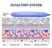 Olfaktorisches System stock abbildung
