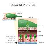 Olfaktorisches System Geruchssinn Menschliche Anatomie stock abbildung