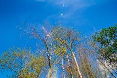 Olhando acima a árvore com céu azul Fotos de Stock Royalty Free