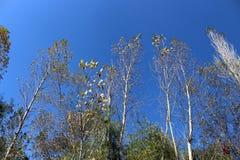 Olhando acima a árvore com céu azul Imagem de Stock Royalty Free
