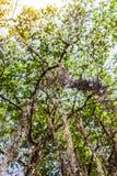 Olhando acima a árvore de Bodhi fotos de stock