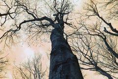 Olhando acima as árvores e os céus Fotos de Stock Royalty Free