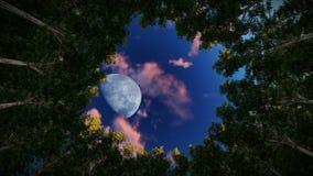 Olhando acima em um círculo de árvores da sequoia vermelha, a Lua cheia no nascer do sol, zumbe dentro ilustração do vetor
