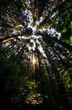 Olhando acima a floresta do cipreste Imagens de Stock