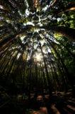 Olhando acima a floresta do cipreste Fotos de Stock Royalty Free