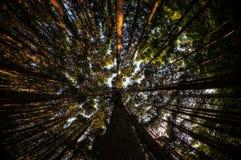 Olhando acima a floresta do cipreste Fotografia de Stock Royalty Free
