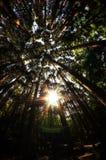 Olhando acima a floresta do cipreste com lente alargue-se Foto de Stock Royalty Free