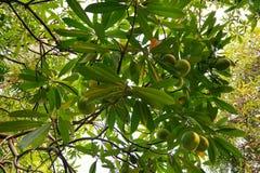 Olhando acima o laurifolia Linn do passiflora como um fundo, fotografia de stock