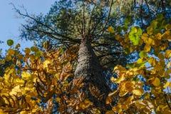 Olhando acima o tronco do pinheiro, da coroa brilhante das folhas verdes, amarelas e douradas Autumn Colors, mudança do conceito  imagens de stock