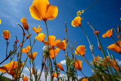 Olhando acima a opinião as papoilas em Walker Canyon durante a flor super de Califórnia, contra um céu azul brilhante fotos de stock royalty free